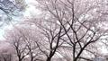 桜並木 左にスライド 45927583