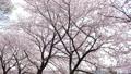 桜並木 右にスライド 45927584