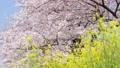 桜と菜の花 ティルトアップ 45927585