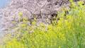 桜と菜の花 ティルトダウン 45927586