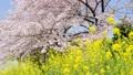 菜の花と桜 左にスライド 45927587