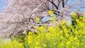 菜の花と桜 右にスライド 45927588