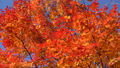 鮮やかな紅葉(フィクス撮影) 45949469