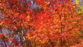 鮮やかな紅葉(フィクス撮影) 45949470
