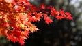 紅葉(和風なトーン フィクス撮影) 45949471