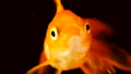 Single adult goldfish with fins swimming in aquarium isolated on black background. The fish float in 46014054