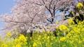 強姦花朵和櫻花小車回來 46113877