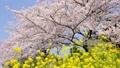 強姦花朵和櫻花修復 46113879