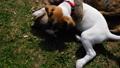 หมา,สุนัช,สุนัข 46141366