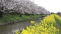 河畔之旅 樱花 樱桃树 46161214