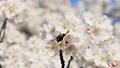 桜咲く 青空 日本晴れ 46209332