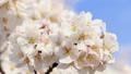 桜咲く 青空 日本晴れ 46209333
