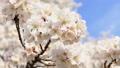 桜咲く 青空 日本晴れ 46209334