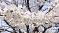 風に揺れる桜 46209428