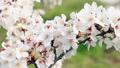 風に揺れる桜 46209504