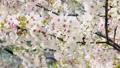 風に揺れる桜 46209505