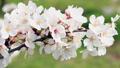 可憐な桜 46209509