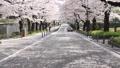 桜並木 花吹雪 46209766