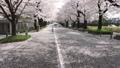 桜並木 花吹雪 46209770