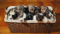 basket puppy dog 46224973