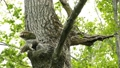 餵養一隻幼鳥的貓頭鷹等待在洞穴 46232009