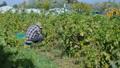 收穫 收成 作物 46371234