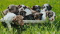 A lot of cute blue-eyed puppies in a basket, which stands on the green grass 46378779