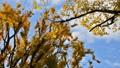 揺れる黄葉・紅葉の木 46389746