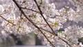 桜の花 46401477