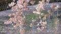 桜吹雪 46401479