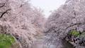 桜 五条川 46401480