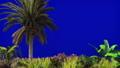 The branches of palm tree and Tropical plant in the wind on blue screen. Beautiful summer looped 46406660