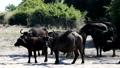 buffalo, safari, animals 46423684