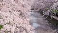 桜 五条川 46435273
