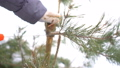 Close up of hand with saw cutting pine branches in winter snowy garden for Merry Christmas and Happy 46440470