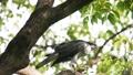 苍鹰捕食猎物 46455976