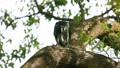 苍鹰捕食猎物 46455982