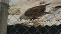 Feeding brown falcon, Moresby village, Papua 46503597