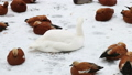 beautiful white Swan takes care of its feathers among the ducks in winter 46505249