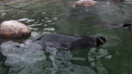 seal basking in the winter the water and rubs himself funny flippers 46505251
