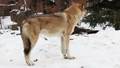 grey wolf in the snow and carefully looks around 46505259