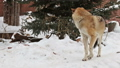 grey wolf in the snow and carefully looks around 46505262