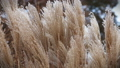 beautiful dry grass swaying in the winter wind 46505266