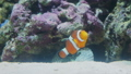 Amphiprion or Clown fish floats among corals. 46505334