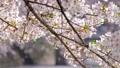 桜の花 右にスライド 46591456