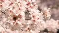 봄 이미지 벚나무 핸드 헬드 촬영 46768968