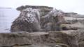 日本猴子(雪猴)使用地獄谷的溫泉來治療疲勞 46786886