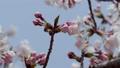 樱花Somey Yoshino的花蕾在风中摇曳 46788279