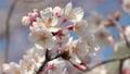 樱花在风中摇曳 46788293