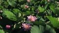 lotus, bloom, blossom 46788426